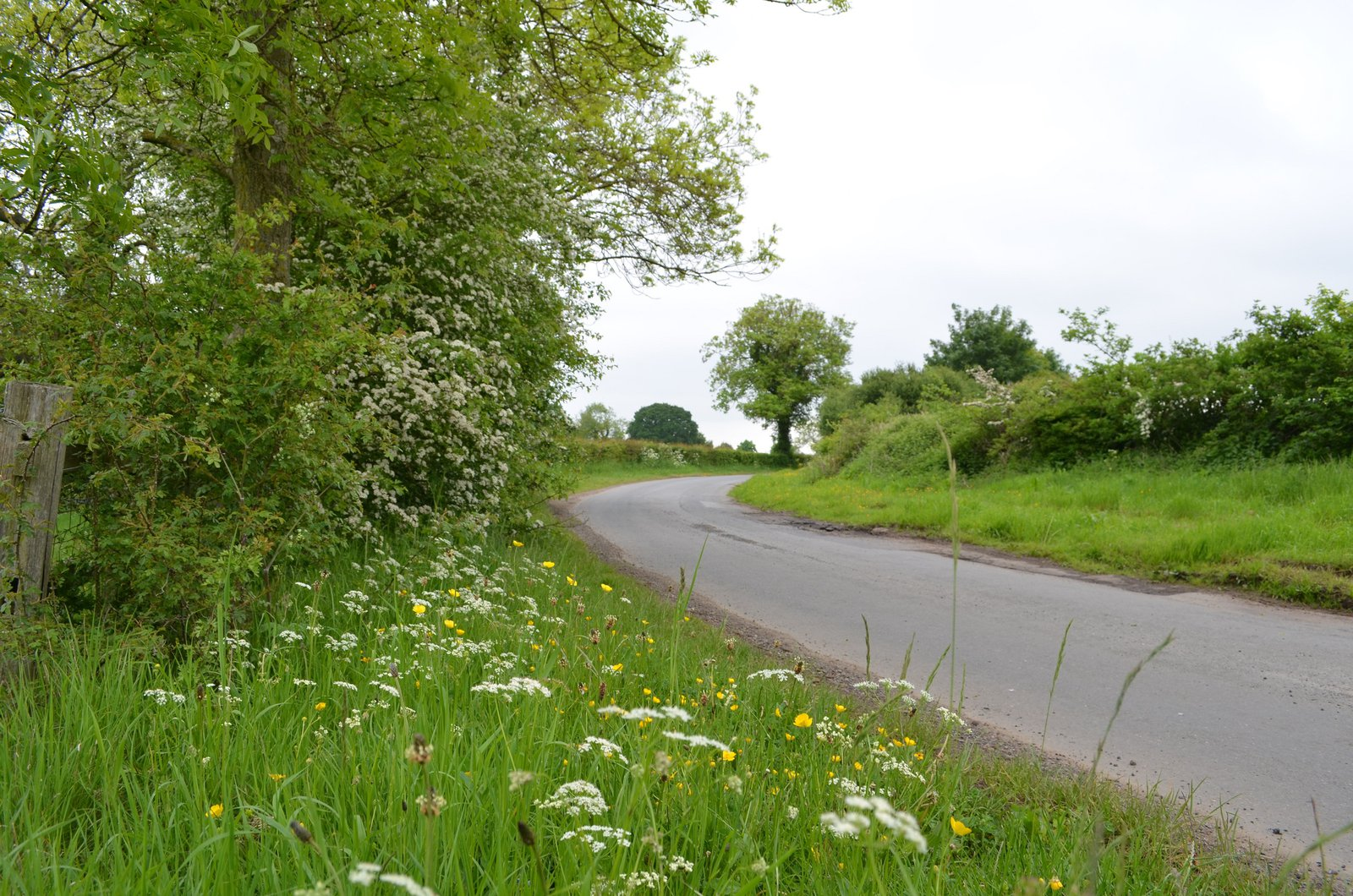 Flowering hawthorn and cow parsley on the verges by Upper Dunsforth
