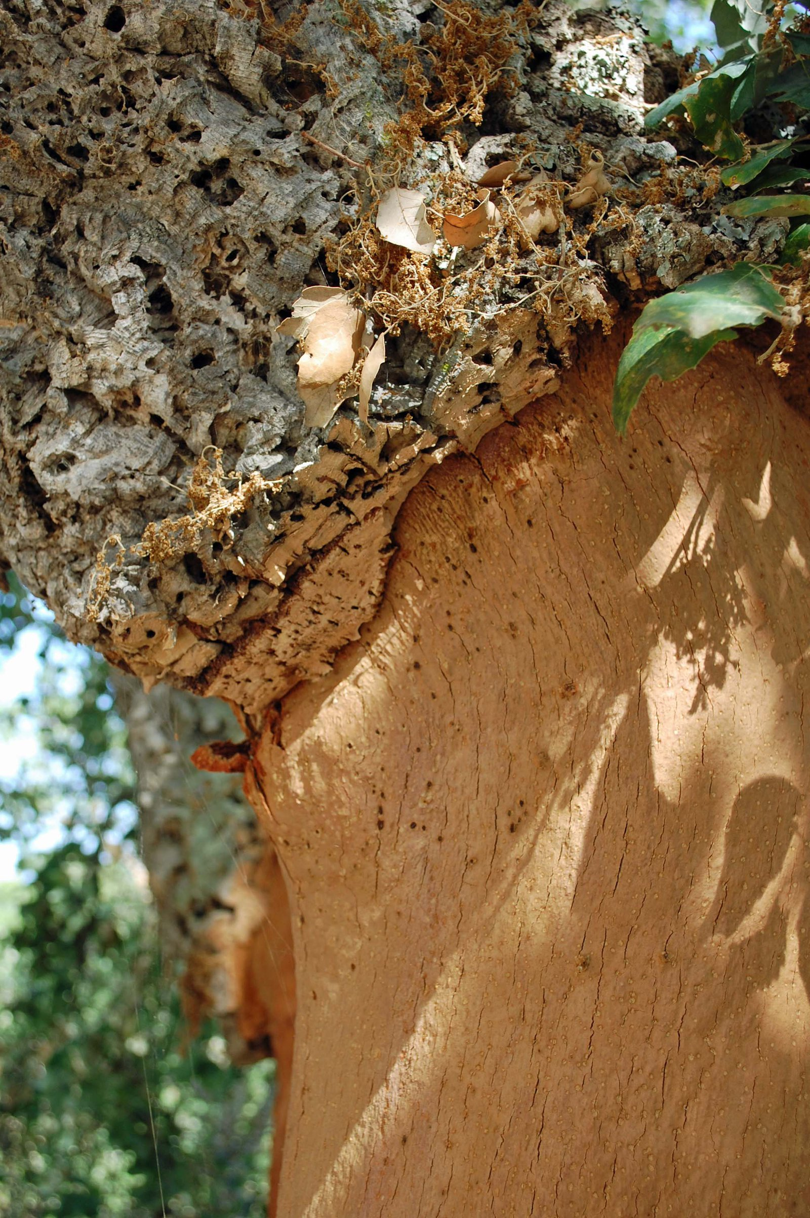 Bark growing on cork tree