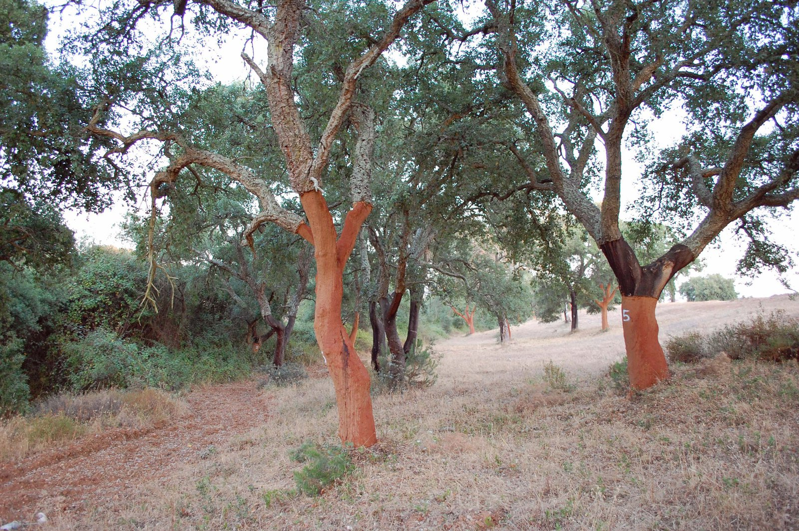 Cork Trees in Alentejo