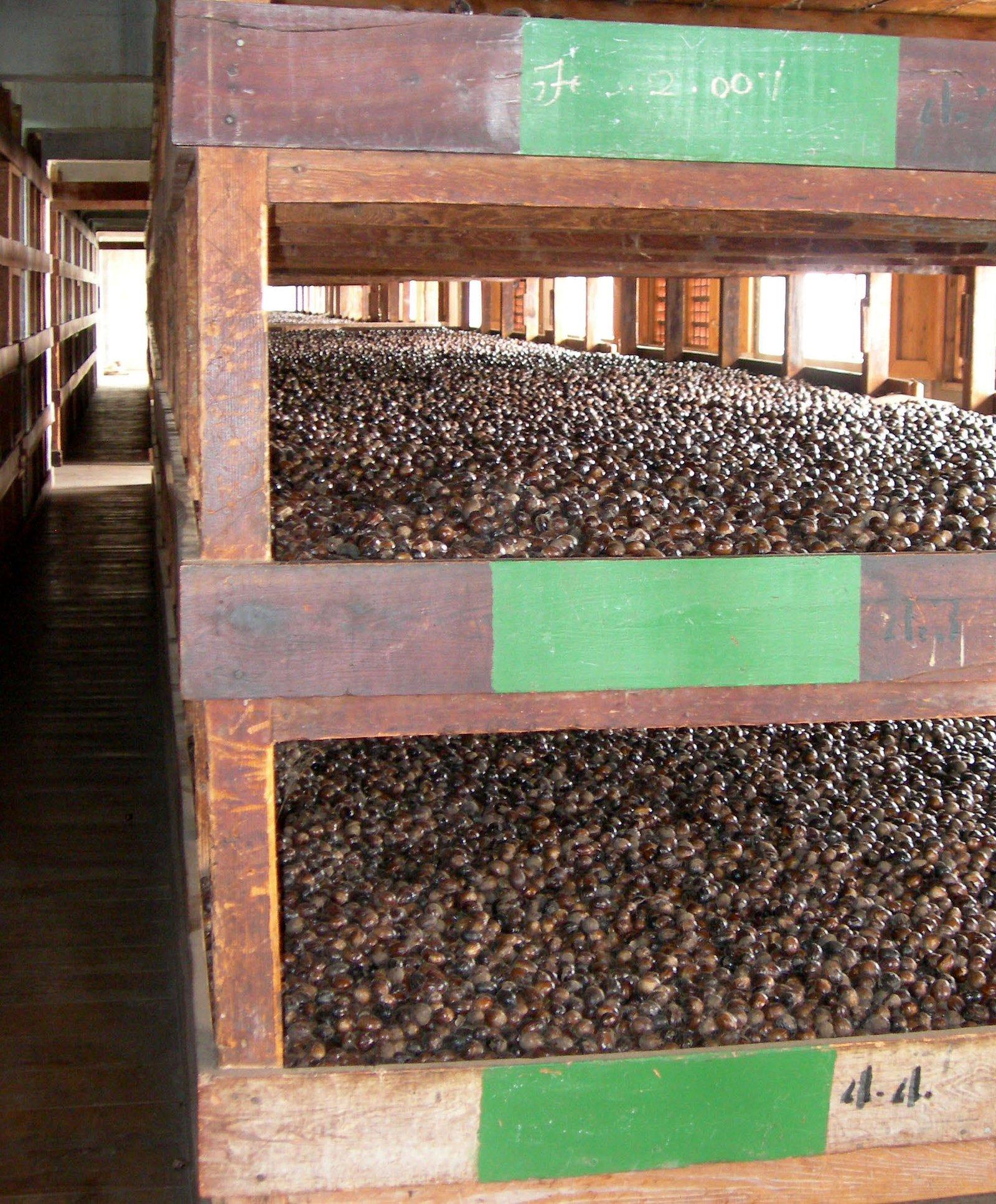 Nutmeg On Drying Racks