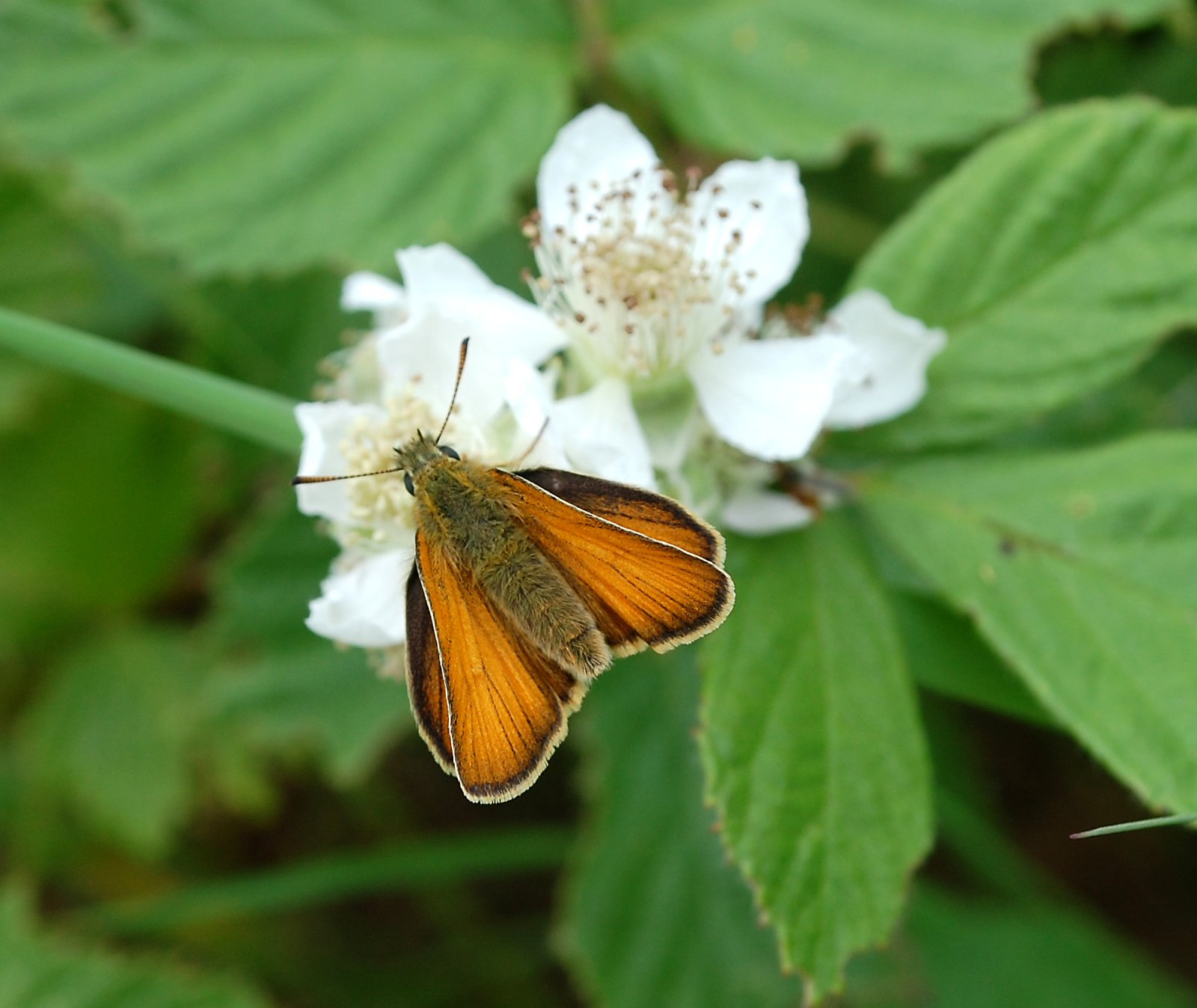 Small Skipper On Bramble Flower