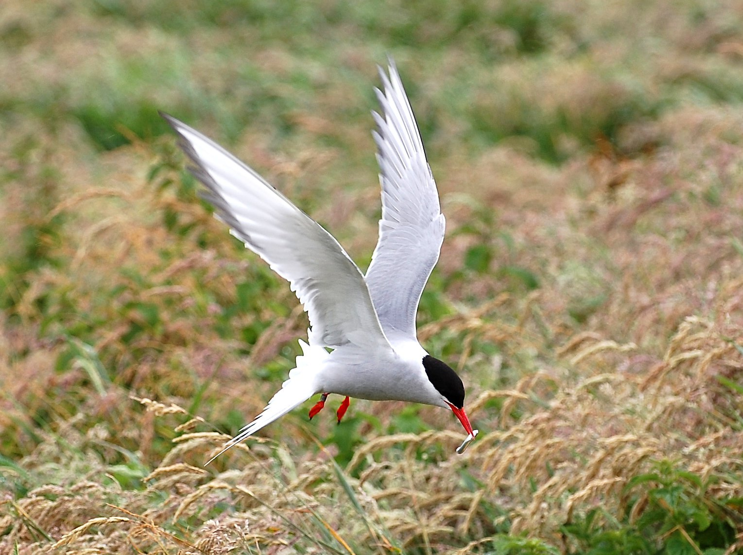 Arctic Tern Coming In To Land