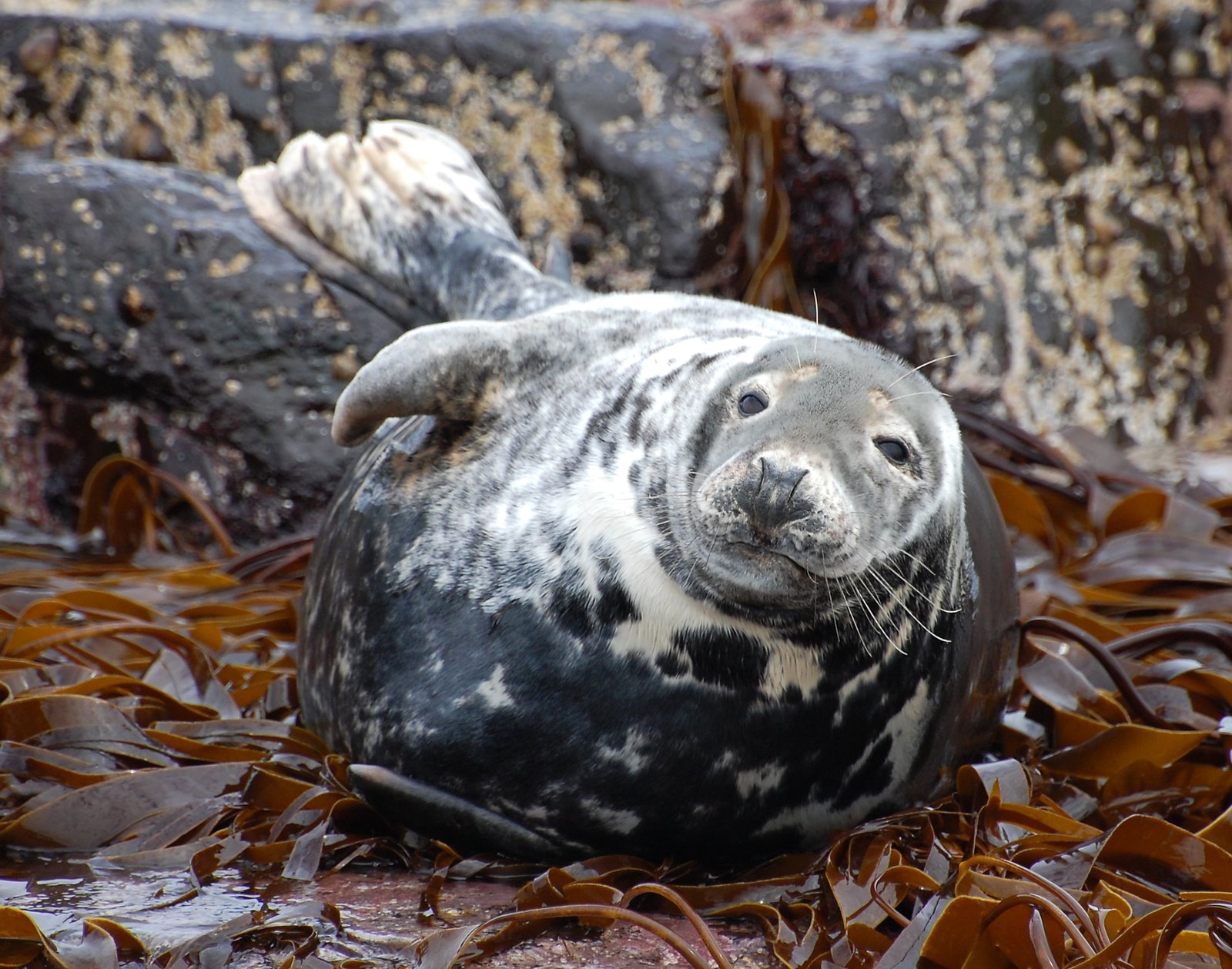 Grey Seal At Farne Islands