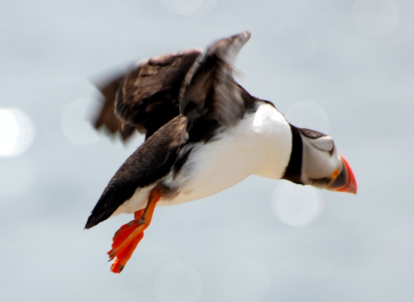 Puffin A'flying