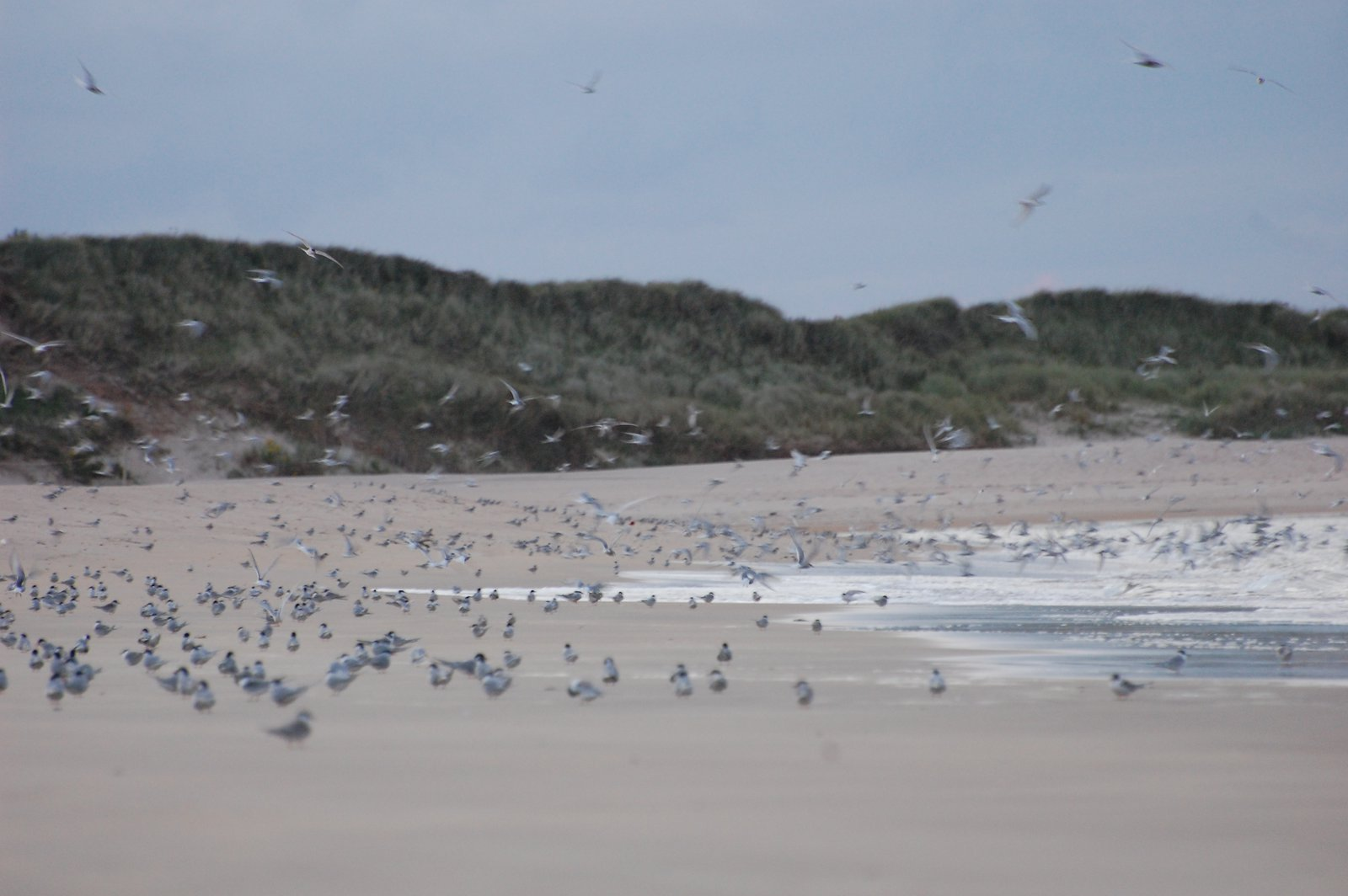Arctic Terns Nesting On Beadnell Bay