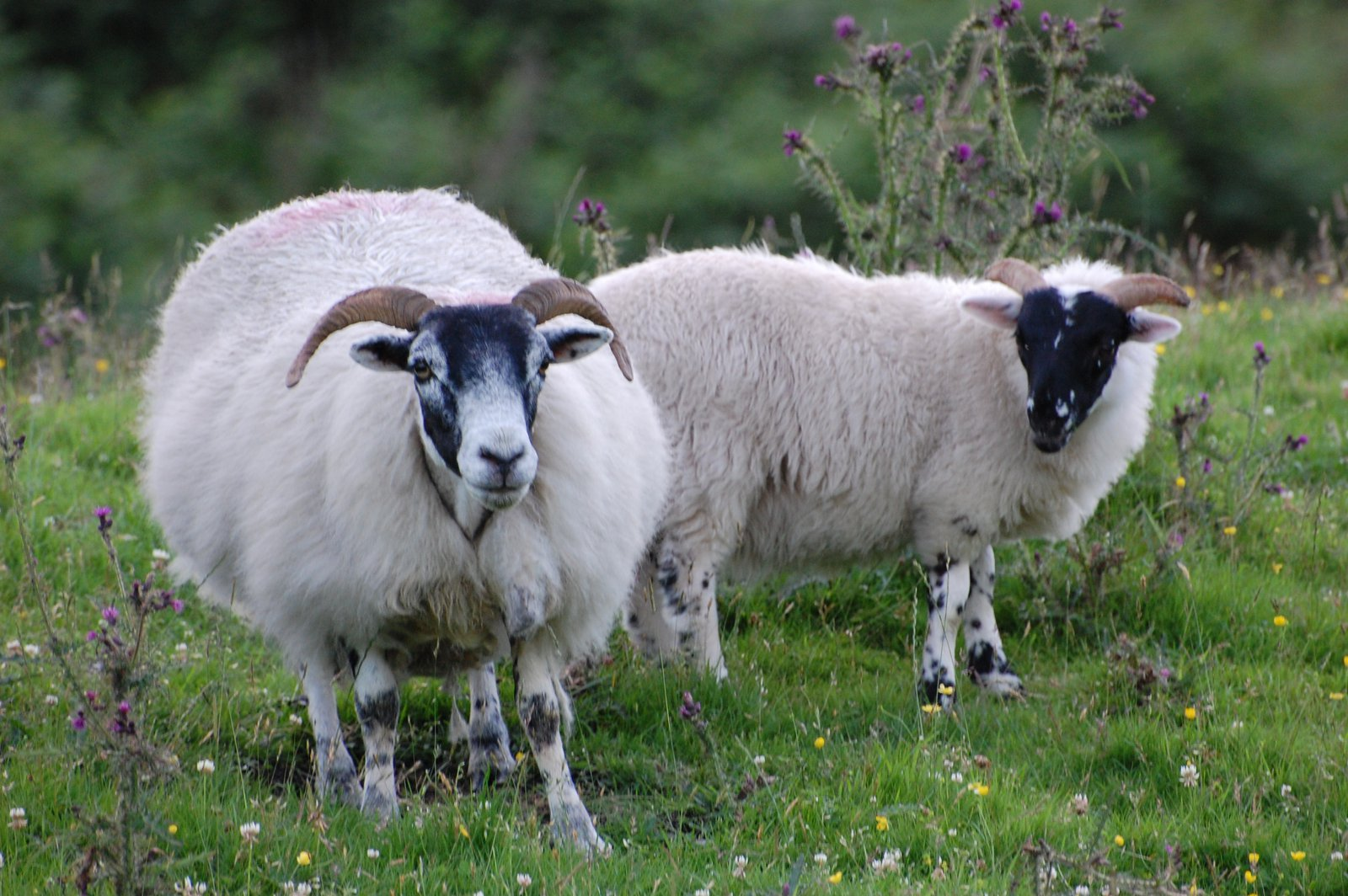 Blackie Sheep On Hills In Dumfries And Galloway
