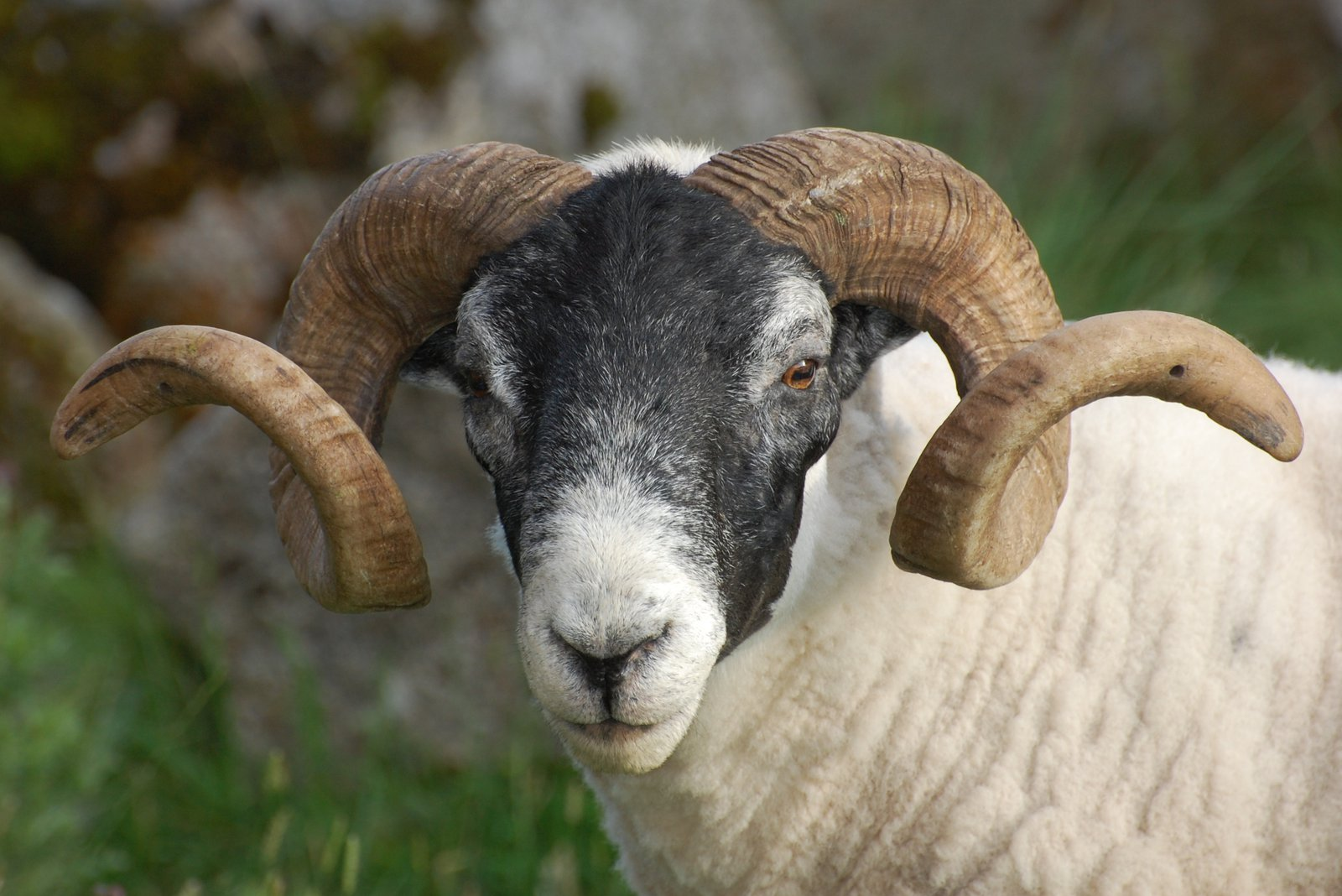 Amazing Horns On Blackie Ram In Cairnsmore Hills