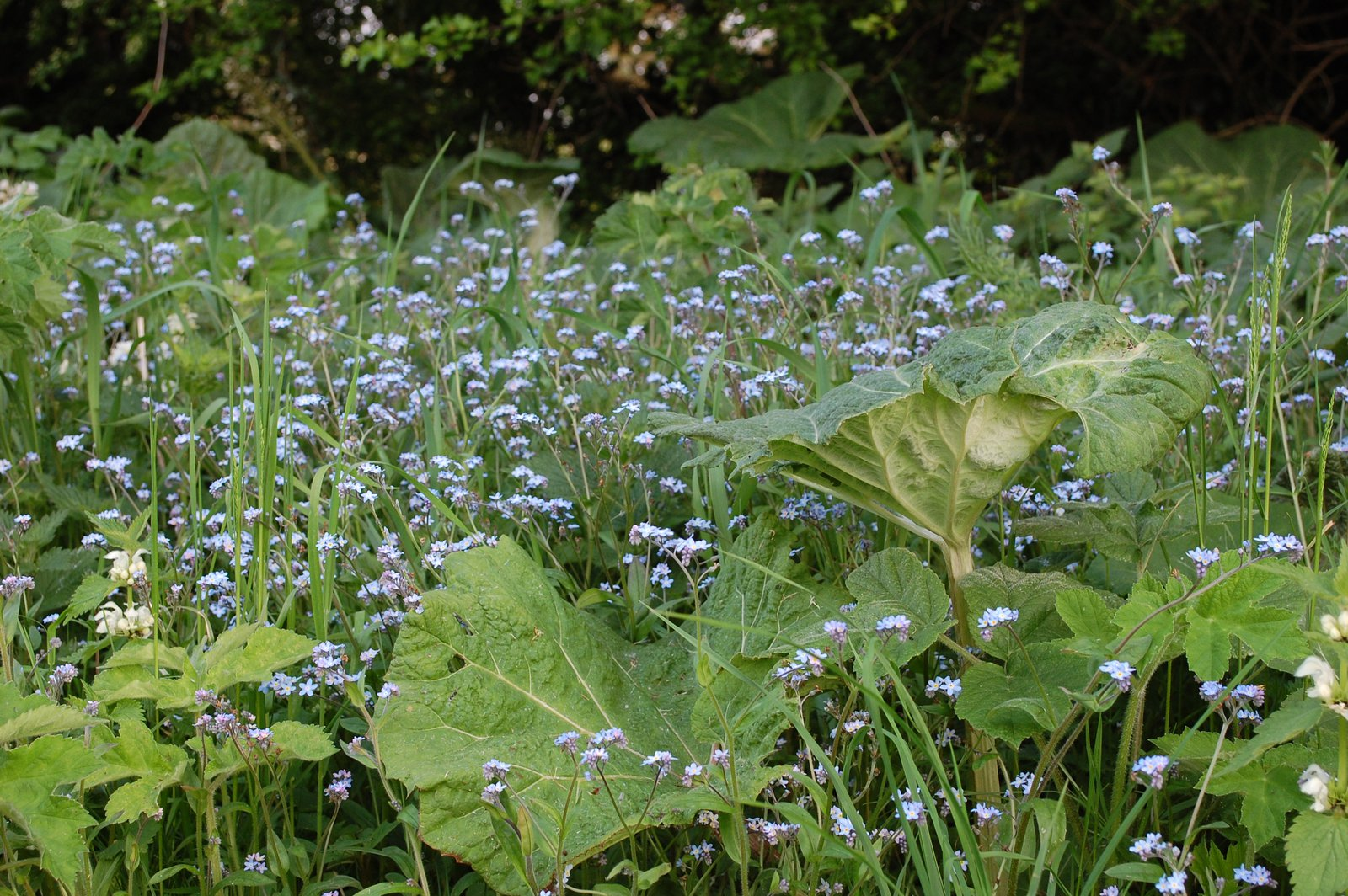 Forget-me-nots Among White Butterbur