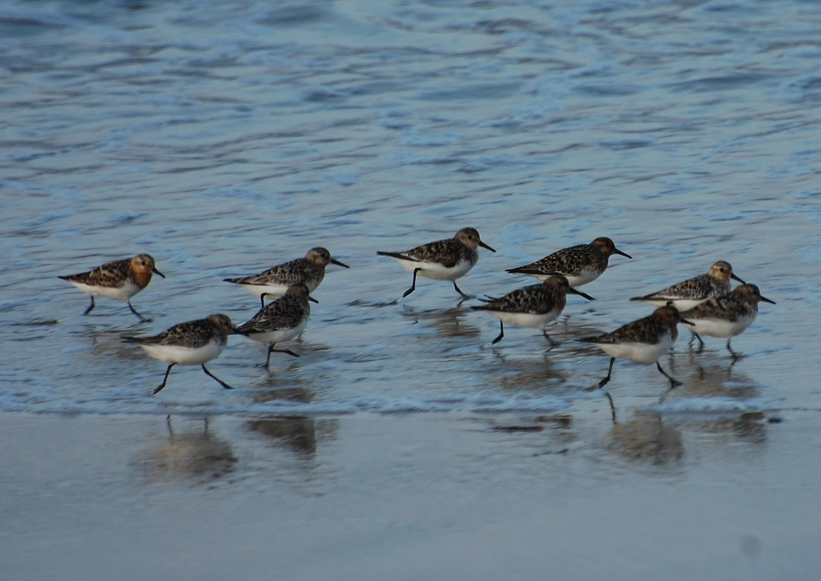 Hyper Energetic Sanderlings At Football Hole Cove