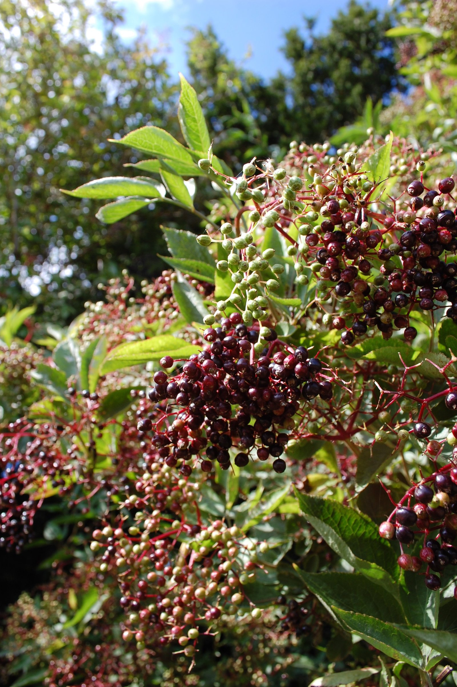 Elder berries ripening on elder hedgerow