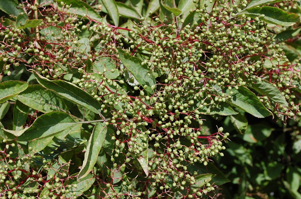 Elderberries Beginning To Develop