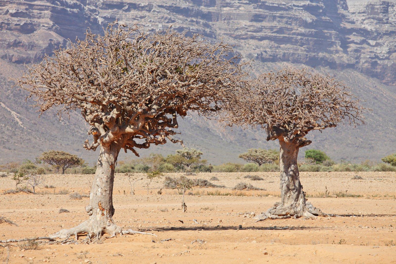 Myrrh Trees