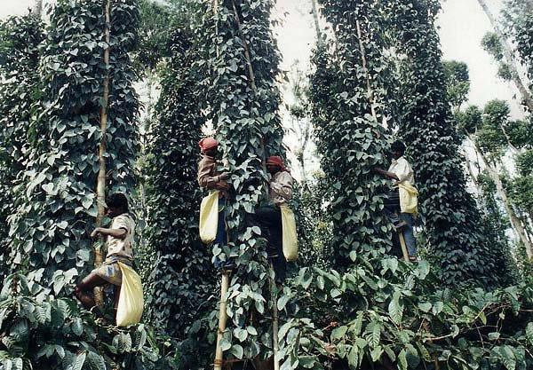 Pepper Harvest In Kerala In India