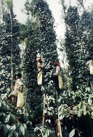Pepper Being Harvested In Kerala