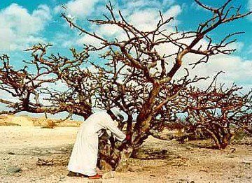 A Bedouin checks a frankincense tree