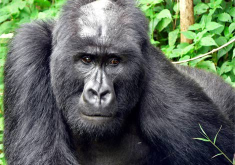 Mountain gorilla from Virunga Mountains