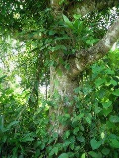 Voatsiperifery pepper vine in Madagascan forest