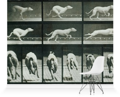 Time-lapse Photographs of a Greyhound Running