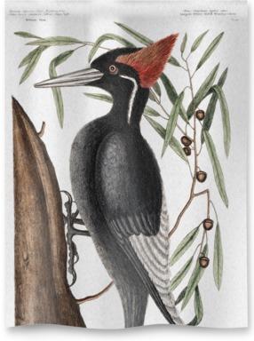 Willow Oak Woodpecker