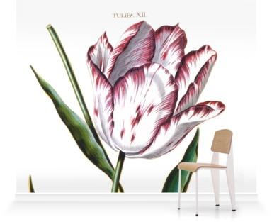 Tulipa XII