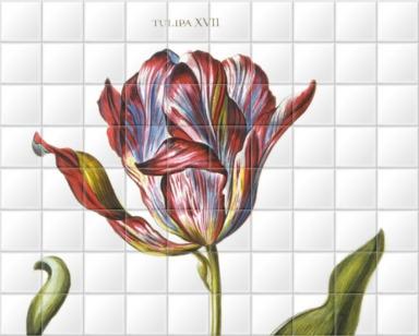 Tulipa XVII