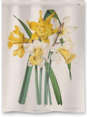 Narcissus Maximus