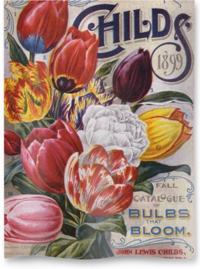 Mayflower Tulips