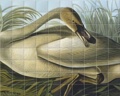 Trumpeter Swan, Cygnus Buccinator Richardson