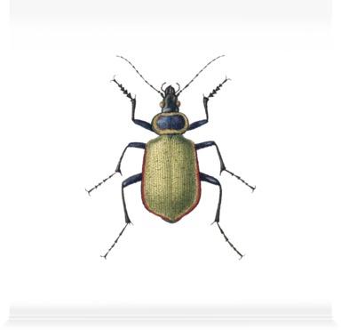 Carabus Sycophanta