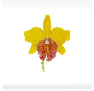 Brassolaelio cattleya irma 'Grandiflora'