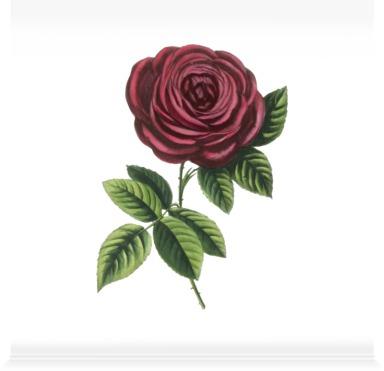 Rose 'General Jacqueminot''