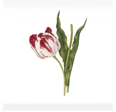 Tulipa 'The Claude & the Duke of Sutherland'