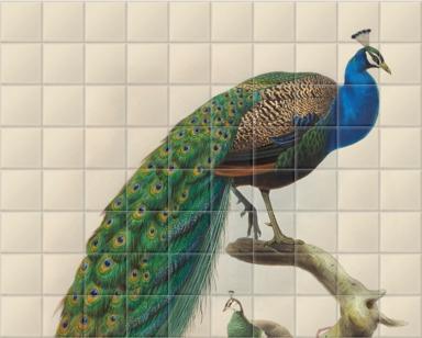 Pavo Cristatus, Common Peafowl