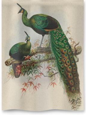 Pavo Muticus, Javan Peafowl
