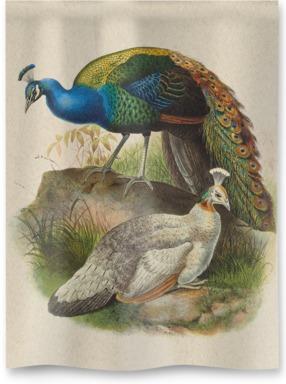 Pavo Nigripennis, Black-Shouldered Peafowl