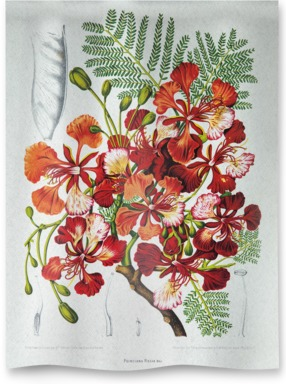 Royal Poinciana [Poinciana regia]