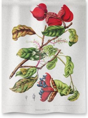 Chinese Chestnut [Sterculia nobilis]