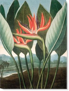 Bird of Paradise [Strelitzia reginae]