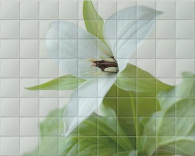 The White Flower of Trillium Simile