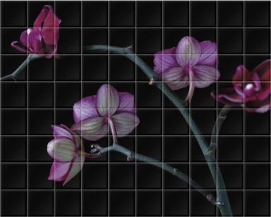 A Doritaenopsis Orchid I