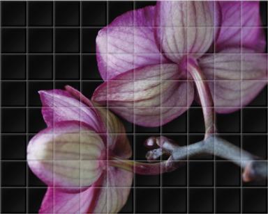 A Doritaenopsis Orchid II