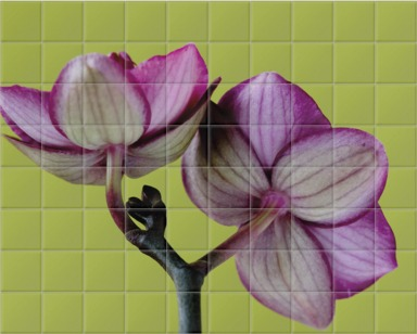 A Doritaenopsis Orchid III