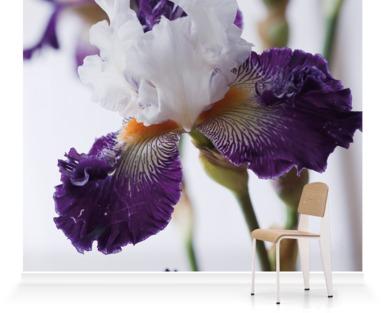 New Bearded Iris
