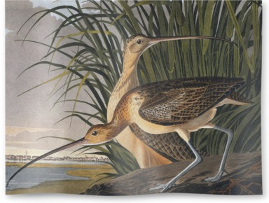 Long-billed Curlew, Numenius americanus