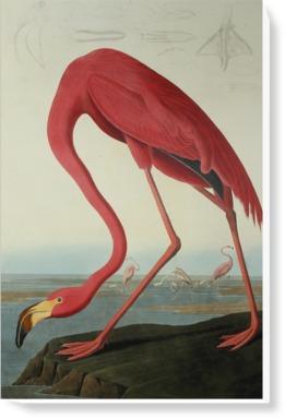 Greater Flamingo, Phownicopterus Ruber