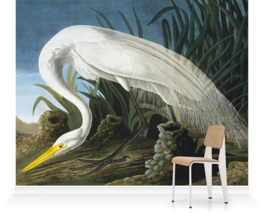Great Egret, Casmerodius Albus