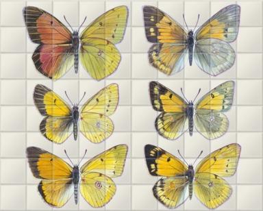Pieridae Clouded Yellow Butterflies