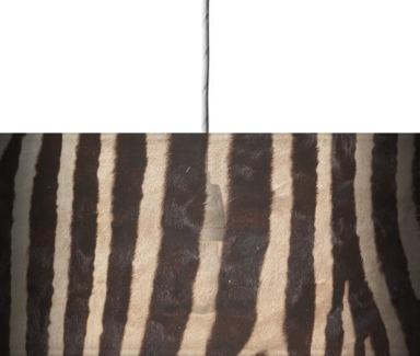 Zebra Skin 1