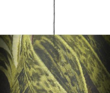 Paphiopedalum x uexillarium