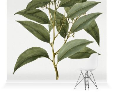 Celtis Paniculata